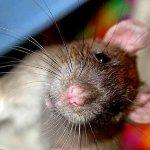 Крыса хрипит при дыхании